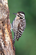 Ladder-backed Woodpecker - Picoides scalaris - female