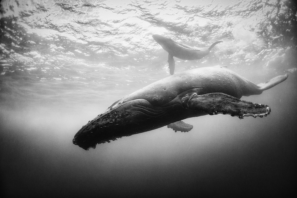 Diving with a humpback whale and her new born calf while they cruise around Roca Partida Island, in Revillagigedo, Mexico. This is an outstanding and unique place full of pelagic life recently added to UNESCO´s World Heritage List