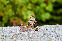 Merlin (Falco columbarius) with a Mourning Dove (Zenaida macroura) that it's just killed Cherry Hill, Nova Scotia, Canada