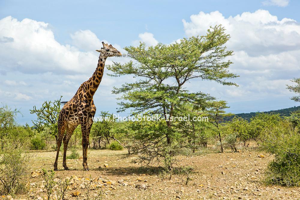 Africa, Tanzania, Serengeti National Park a Masai Giraffe (Giraffa camelopardalis) eats from an Acacia tree