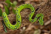 Guatemalan Palm Viper (Bothriechis aurifer)<br /> CAPTIVE<br /> HABITAT & RANGE: Cloud forest at 1200-2300 meters in eastern Chiapas of Mexico and northern Guatemala<br /> IUCN STATUS: VULNERABLE