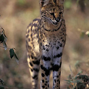 Serval, (Felis serval) Portrait. Masai Mara Game Reserve. Kenya. Africa.
