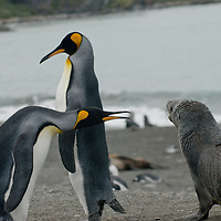 A King Penguin warns away a young Southern Fur Seal on the beach at Gold Harbor, South Georgia, Antarctica.