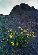 Oxford Ragwort growing on the tip of shale cleared from coal mine, England, United Kingdom.