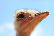 close up portrait of a head of an ostrich with a blue sky background