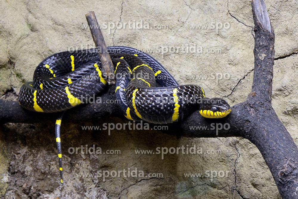 THEMENBILD - Mangroven-Nachtbaumnatter oder der Ularburong (Boiga dendrophila), captive, Vorkommen Asien // Mangrove night tree snakes or the Ularburong (Boiga dendrophila), captive, occurrences Asia. EXPA Pictures © 2017, PhotoCredit: EXPA/ Eibner-Pressefoto/ Schulz<br /> <br /> *****ATTENTION - OUT of GER*****