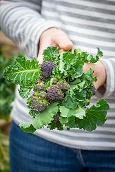 Picking purple sprouting broccoli. Brassica oleracea