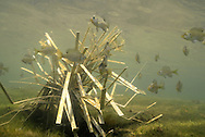 Fishiding Artificial Fish Attractors-Placed in shallow water, young bluegills are attracted to the cover.<br /> <br /> Engbretson Underwater Photography