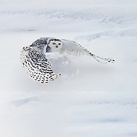 Snowy owl in flight close to the ground with wings in the full streached position