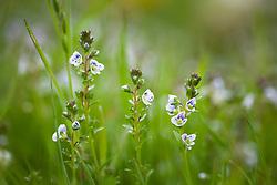 Thyme-leaved Speedwell syn. Thymeleaf. Veronica serpyllifolia