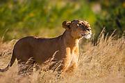 An alert lioness (Panthera leo) looking out above tall grass for prey, Masai Mara, Kenya