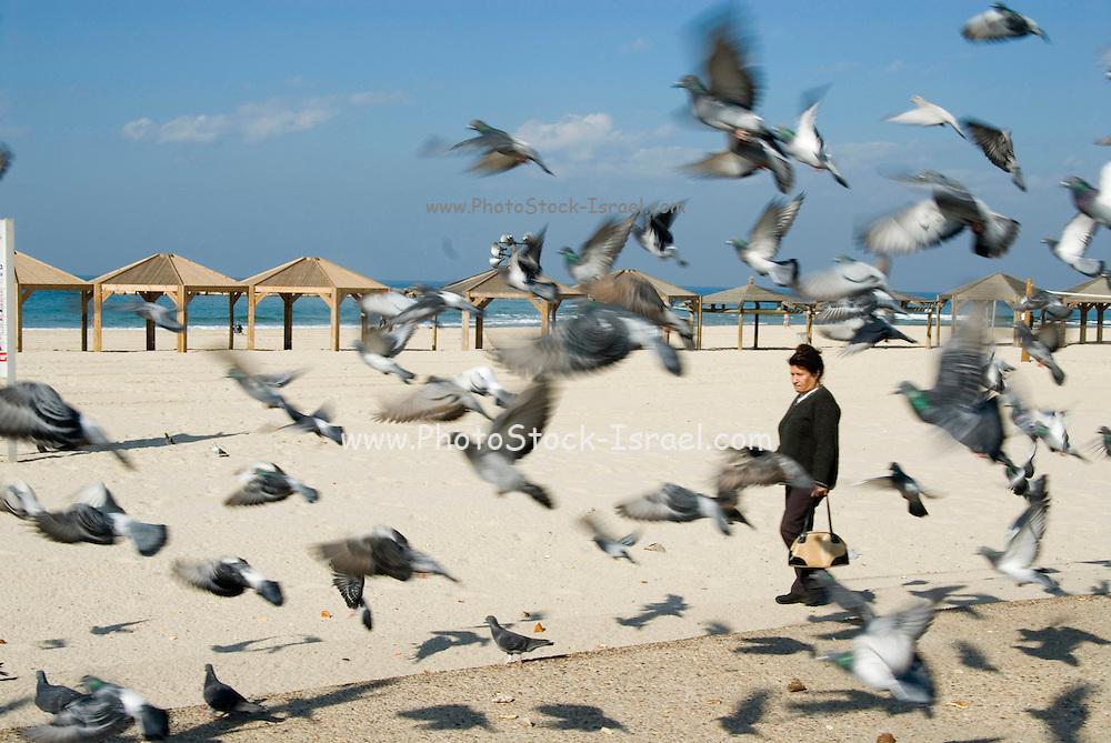 """Israel Tel Aviv Pigeons on the beach front. This strip of beach is named the """"Jerusalem Beach"""" in honour of Teddy Kollek ex mayor of Jerusalem"""