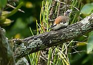 Rufous-naped Wren, Campylorhynchus rufinucha