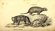 Meerkat (Suricate) and Weasel from General zoology, or, Systematic natural history Part I, by Shaw, George, 1751-1813; Stephens, James Francis, 1792-1853; Heath, Charles, 1785-1848, engraver; Griffith, Mrs., engraver; Chappelow. Copperplate Printed in London in 1800. Probably the artists never saw a live specimen