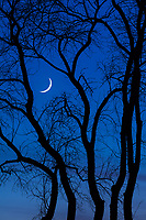 crescent moon setting behing silhouetted tree trunks at twilight, lake champlain, vermont