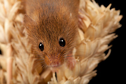 © under license to London News Pictures. 23/09/12. A Harvest Mouse. Animals appear to pose for their portrait as part of a photo session in Macro photography at Park Farm in the heart of Knowsley Safari Park in Merseyside. Photo credit should read IAN SCHOFIELD/LNP
