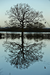 © Licensed to London News Pictures.  23/11/2012. BICESTER, UK. Birds fly past a tree reflected in a flooded field near Bicester, Oxfordshire. Overnight heavy rain has caused numerous floods. Photo credit :  Cliff Hide/LNP