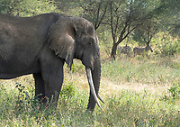 African Elephant, Loxodonta africana, in Tarangire National Park, Tanzania. In the background are two Grant's Zebras, Equus quagga boehmi.