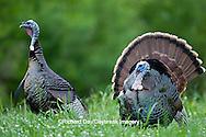 00845-07215 Eastern Wild Turkeys (Meleagris gallopavo) gobblers in field, Holmes Co., MS