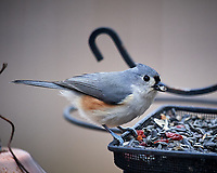 Tufted Titmouse. Image taken with a Nikon D5 camera and 600 mm f/4 VR lens (ISO 1100, 600 mm, f/4, 1/1250 sec)