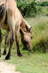 Fjordenpaard, Fjord, Equus ferus caballus s.l.