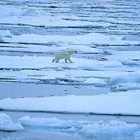 POLAR BEAR. Polar Bear drifts on floating ice in Arctic Ocean near Franz Josef Land, Russia.