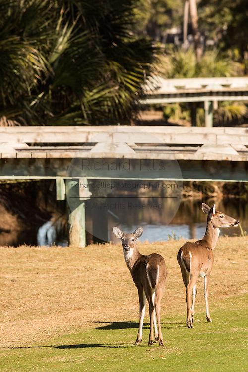 Deer gather along the Ocean Creek Golf Course on Fripp Island, SC.