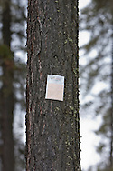 Photo Randy Vanderveen.near Grande Prairie, Alberta.A pheremone patch is secured to a pine tree in the Evergreen Park area as one measure to reduce Mountain Pine Beetle infestation. The patch provides a signal to beetles that the tree is already occupied, when it isn't.