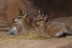 03 July 2006:   klipspringer at the Henry poorly zoo in Omaha Nebraska