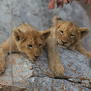 Young African lion cubs resting on rocks. South Africa