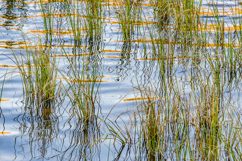 Reeds and autumn reflection, morning light, Sandy Lake, Baxter State Park, Maine, USA
