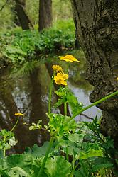 Spindotter, Caltha palustris subsp. araneosa