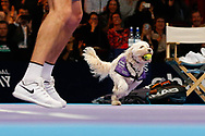 Hattie the balldog with a ball in her mouth framed alongside Greg Rusedski's legs.<br /> Ball dogs step onto the court at the Royal Albert Hall for the first time in UK history during this year's Champions Tennis event in association with Skinner's Pet Food, with dogs provided by Canine Partners. <br /> During the Champions Tennis match at the Royal Albert Hall, London, United Kingdom on 6 December 2018. Picture by Ian Stephen.