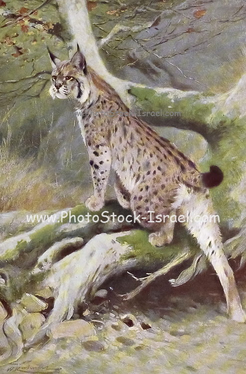 Lynx (Felis Lynx) from the book '  Animal portraiture ' by Richard Lydekker, and illustrated by Wilhelm Kuhnert, Published in London by Frederick Warne & Co. in 1912