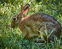 Harvey the Rabbit -- Image taken with a Nikon 1 V2 camera, FT1 adapter, and 70-300 mm VR lens (ISO 160, 165 mm, f/5, 1/125 sec). Raw image processed with Capture One Pro, Focus Magic, and Photoshop CC.