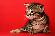 Cutout of a one week old kitten on red background