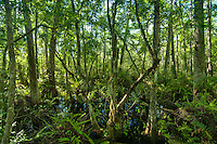 SW Florida's Corkscrew Swamp is a remarkable wetland with a rare virgin cypress tree forest, that is now under the protection of the Audubon preserve system. The biodiversity of this region is amazing!