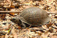 This endemic subspecies of the eastern box turtle is found only in Florida except for a few small pockets in the extreme southern part of Georgia. I found this female in the oak scrub in the bluffs above the Apalachicola River in an extremely rural part of northern Florida.