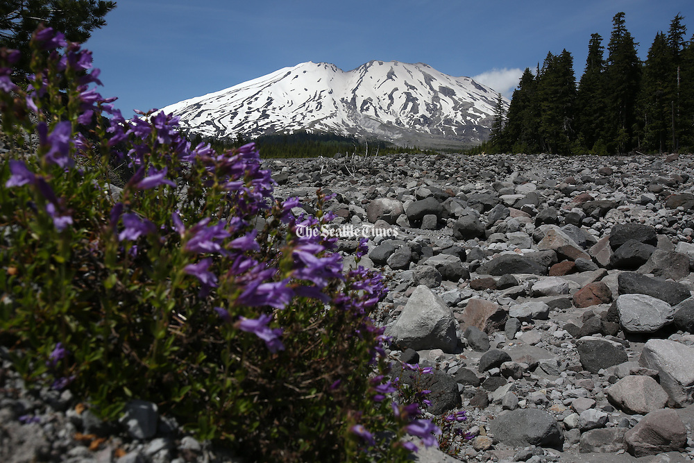 The south side of Mount St. Helens seen from Stratigraphy Viewpoint,  near Cougar, Washington.<br /> <br /> Ken Lambert / The Seattle Times