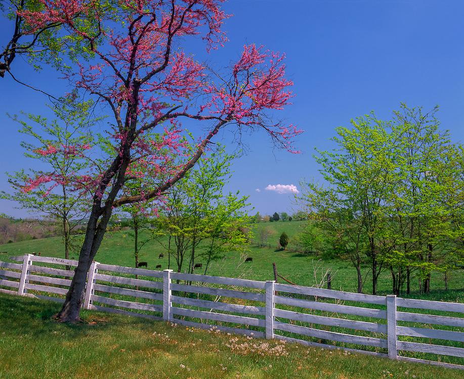 Redbud tree & white fence, distant cows, springtime, Belle Grove Plantation, Middletown, VA