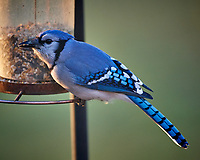 Blue Jay at the Bird Feeder. Image taken with a Nikon D5 camera and 600 mm f/4 VR lens (ISO 1600, 600 mm, f/4, 1/640 sec).