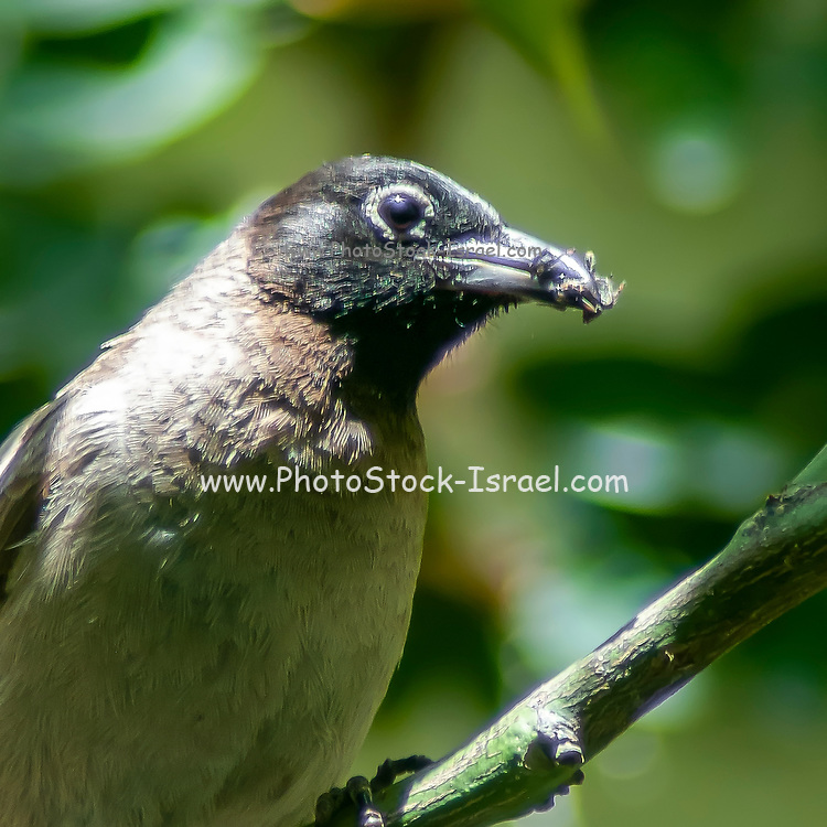 Yellow-vented Bulbul (Pycnonotus xanthopygos) parent carries food in its mouth to bring back to the nest Photographed in Israel in June