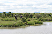 Kenya, Masai Mara, Kenya, Masai Mara, Herd of African Elephant