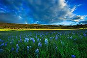 Camas Flowers on Priest Pass, Montana