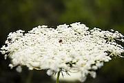 Israel, Golden wild carrot Daucus aureus