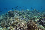 coral reef with healthy hard corals and reef fish, Christmas Island ( Kiritimati ), Republic of Kiribati, northern Line Islands, equatorial Central Pacific Ocean