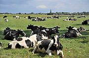 Nederland, Millingen aan de Rijn, 12-8-2019Dit dorp aan de Duitse grens ligt in de Ooijpolder. Zwartbont koeien liggen te herkauwen in een weiland. Kerktoren in de achtergrond.Foto: Flip Franssen