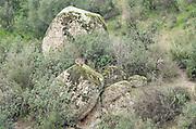 Wild Iberian lynx, Lynx pardinus, female sitting on rock in distance, Sierra de Andujar Natural Park, Sierra Morena, Andalucia, Spain,  Critically endangered