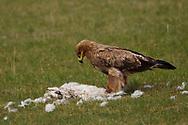 Steppe Eagle, Aquila nipalensis, scavenging on a dead sheep, Bayanbulagu Gatcha, grassland steppe, Inner Mongolia, China, Inner Mongolia, China