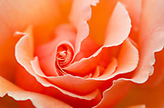 Creative close-up wide-aperture abstract image of a Rose 'Just Joey' growing in a Norfolk garden in summer
